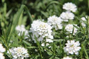 egész nyáron virágzó évelő virágok